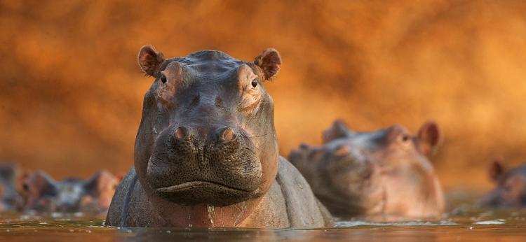 Rozlewisko hipopotamów, fot. David Fettes / Wielka Brytania